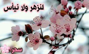 الكاتبة الكبيرة سحر الحربي عندما تصف الزهور تضفي جمال على جمالها ورائعة جديدة زهور الكرز ( الساكورا )  @sahar__alharbi